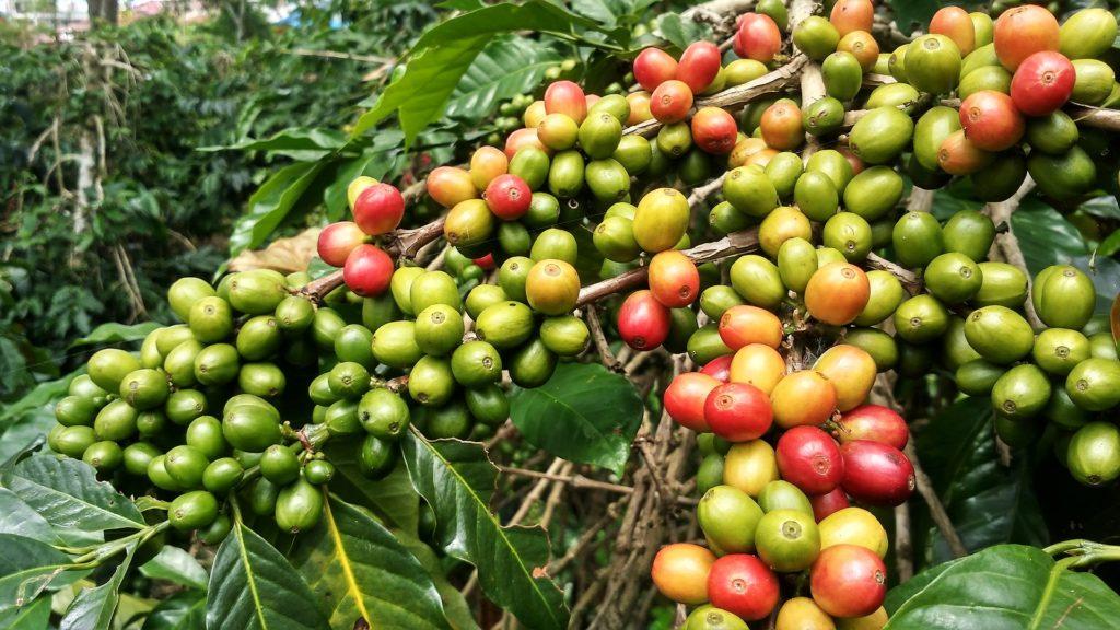 fruit du caféier de variété arabica
