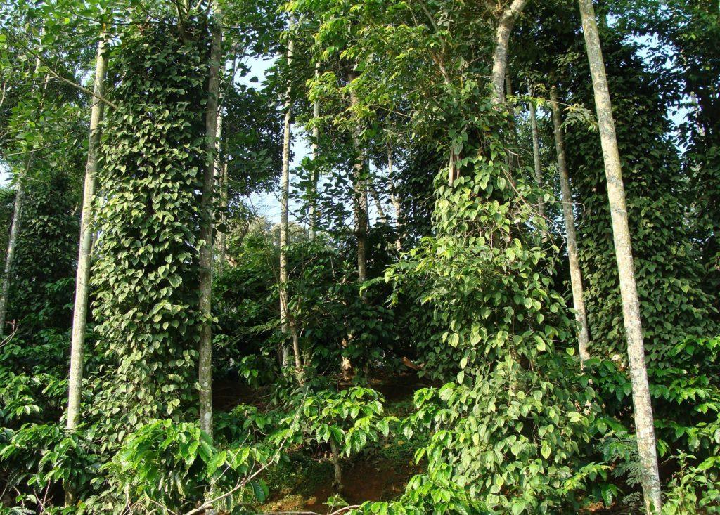 plantation de caféiers robusta