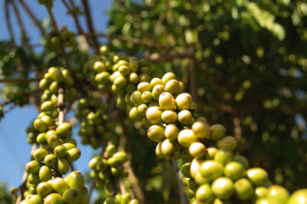 grappes de fruits du caféier robusta