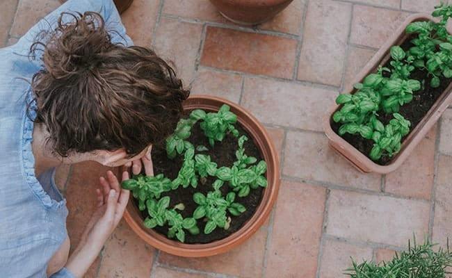 basilic en jardinière