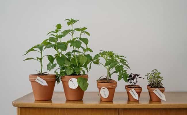 pots en céramique de plantes cultivables